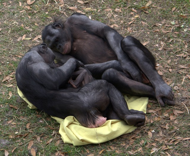 Bonobos Use the Power of Female Friendship to Overthrow Male