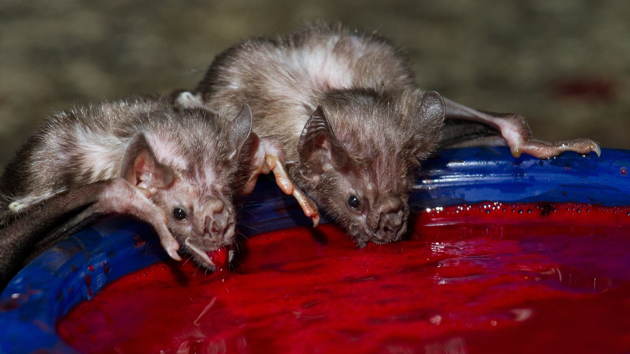 Bat V ire Gnu in addition Animal Study Aniya furthermore White Nose Syndrome In L Br Bats furthermore  in addition Inline Sydney Operahouse. on bats an animal study