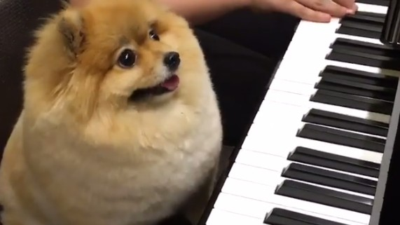 Clueless, Disgraceful Dog Is Awful at Playing the Piano