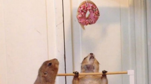 Desperate Prairie Dog Will Stop at Nothing for a Donut
