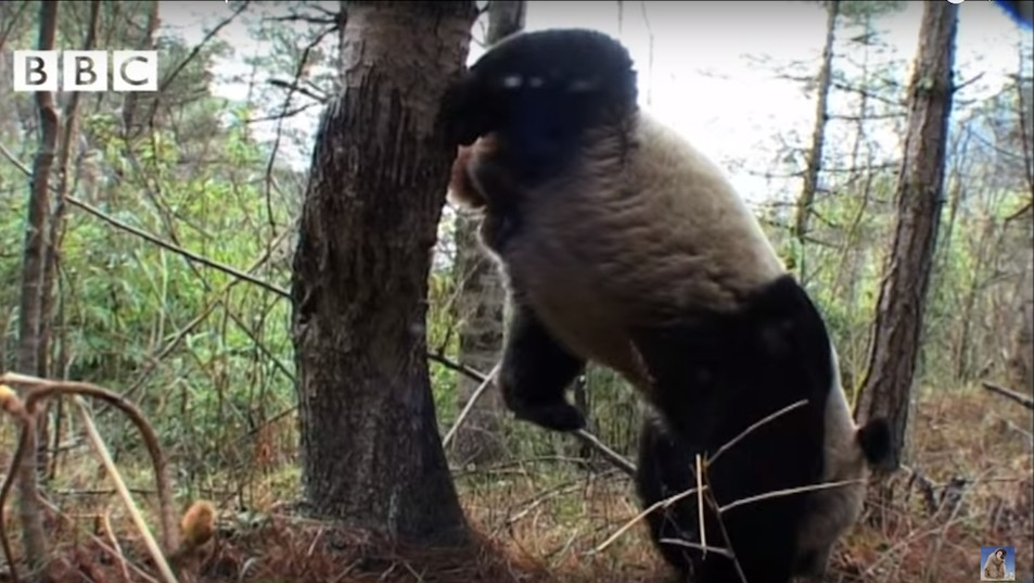 Adept at Multitasking, Giant Panda Pees While Doing Handstand