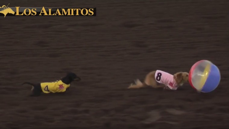 Competitive Wiener Dog Racing: A Sport All of Society Can Approve Of