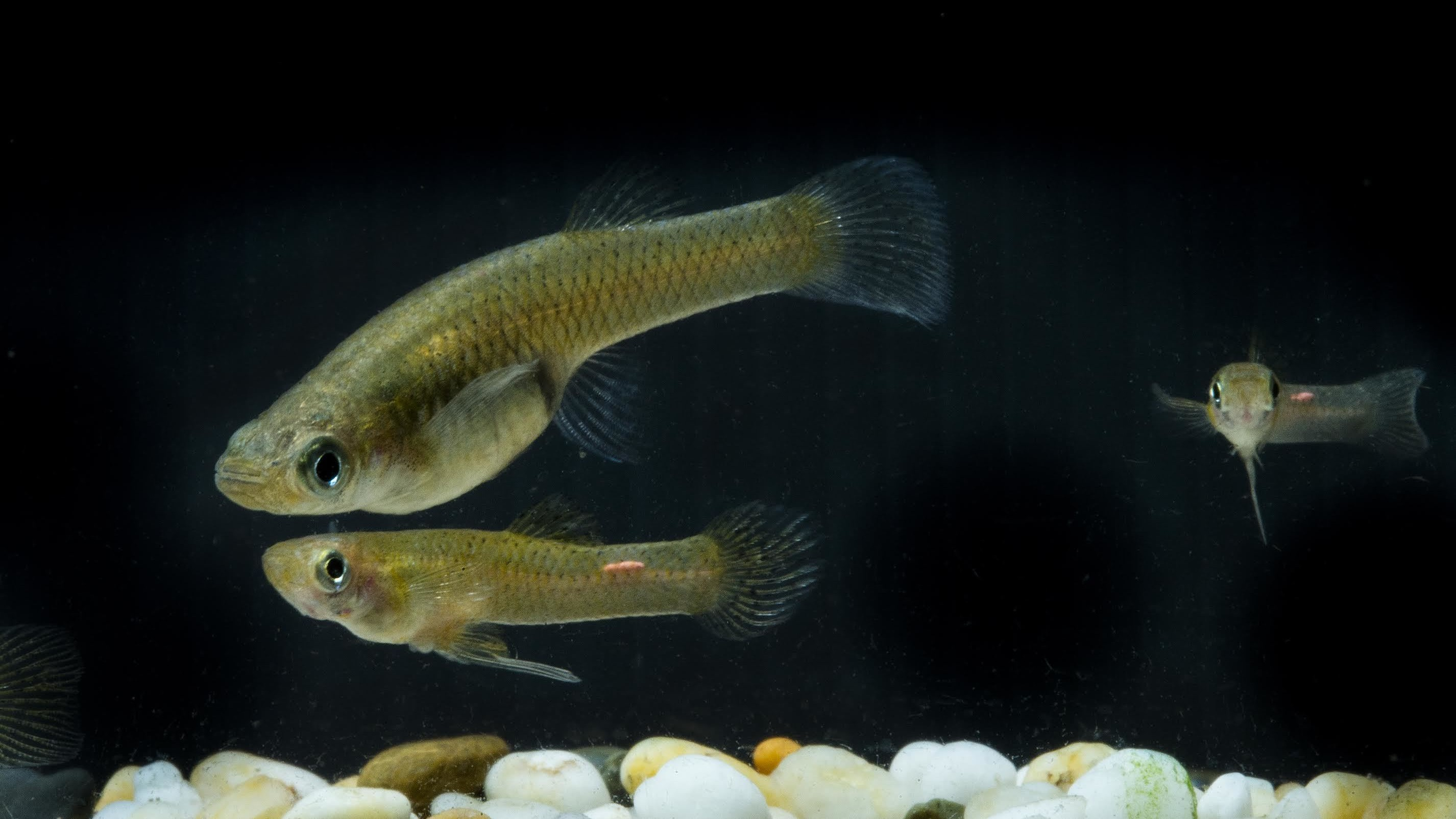 Female Fish Grow Bigger Brains to Outsmart Horny Males, Researchers Say