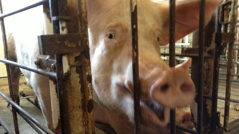 The Woman Going Undercover to Expose the Brutal Animal Torture in Factory Farms